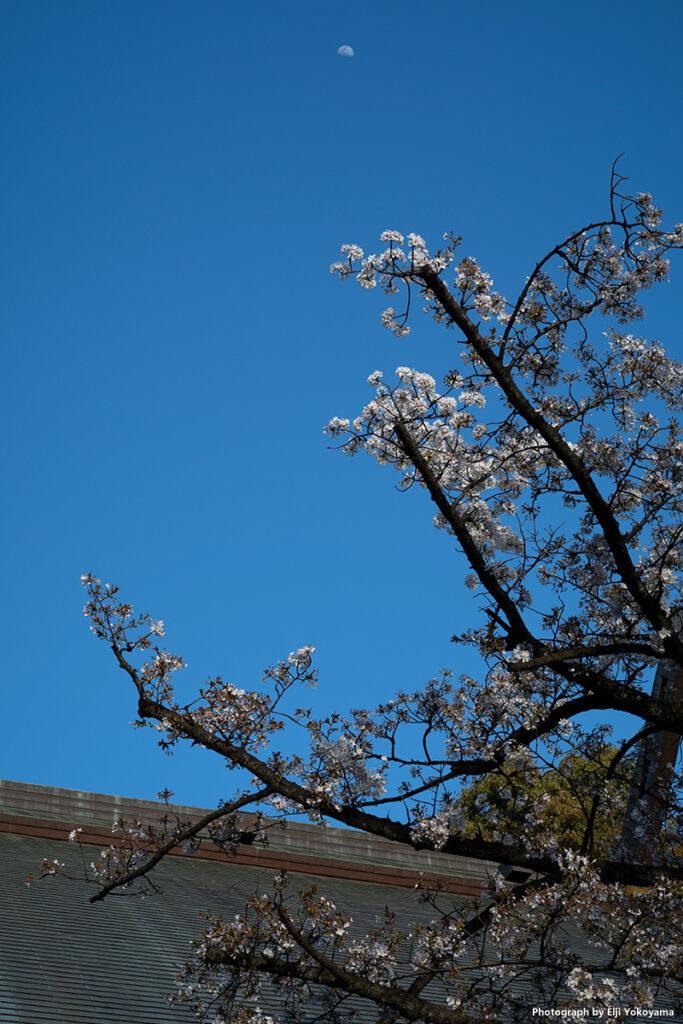 月も出ていたので、、、神門横の桜。