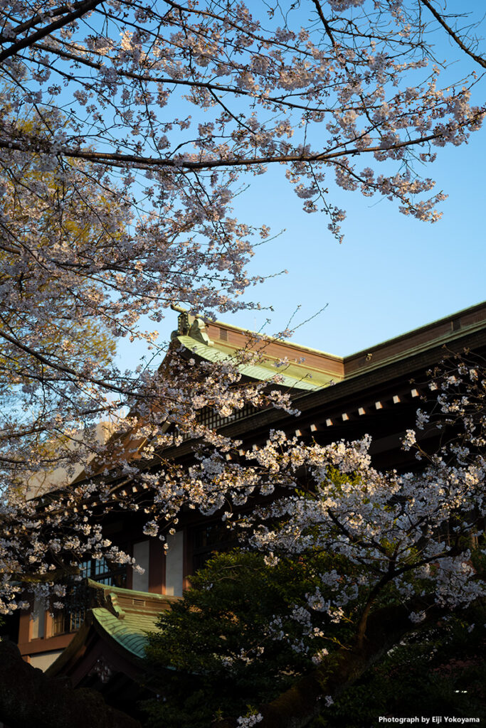 社務所前の桜、満開に近い部分を。