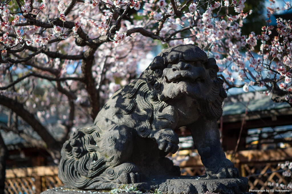 湯島天神、狛犬と梅。ここの狛犬はけっこう怖い顔をしてます。今まで見た中でも最恐クラスかと。バックに梅の花があるので多少は穏やかに感じますが、、、