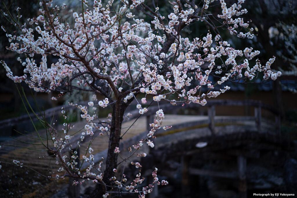 庭園の梅。他の梅はすでに花びらが散ったものが多かったのですが、ここは日当たりが悪いようでちょうど満開の感じでした。