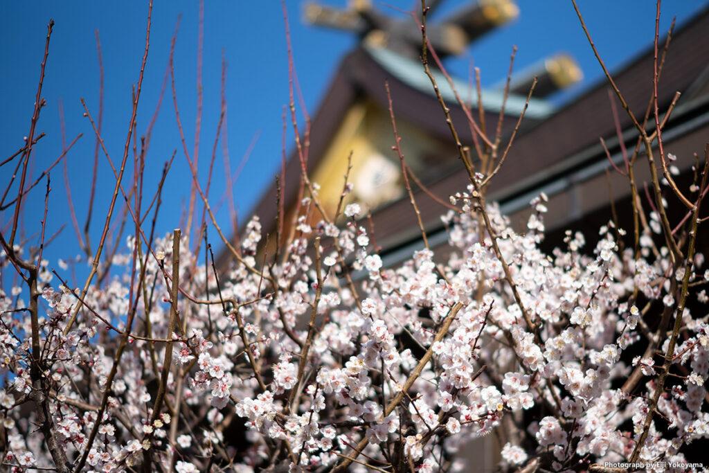 本堂前の梅。ここの梅もけっこう満開状態でした。