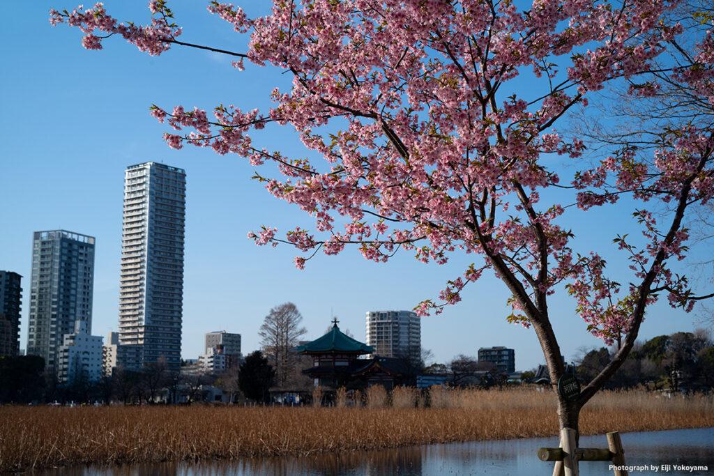 上野公園の河津桜。不忍池沿いに数本、ほぼ満開でした。
