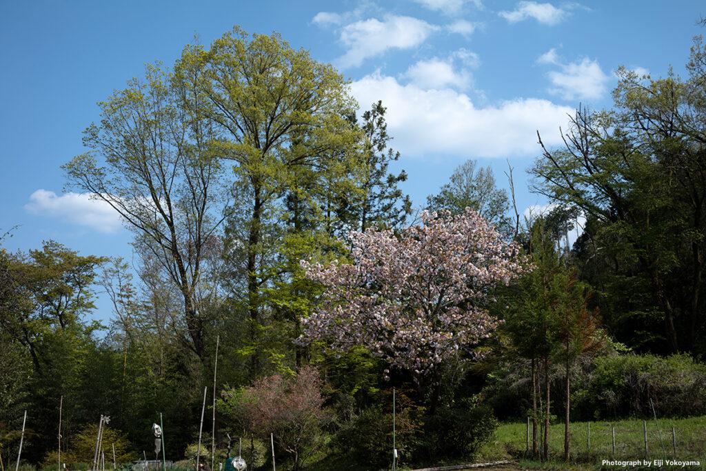 畑の八重桜。