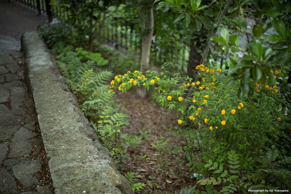 ヤマブキ。飛鳥山公園から王子駅方面へ降りてゆく山道にて。