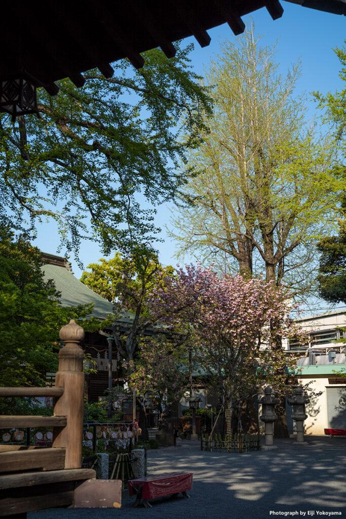 西ヶ原、七社神社。ここも八重桜が満開でした。