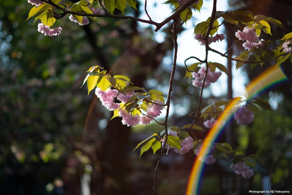 七社神社、八重桜に虹!。NOKTON Vintage Line 50mm、絞り開放逆光時にけっこうな確率で虹(ゴースト)が出ます。クレームレベルかなとも思いつつ、綺麗なのでうえるかむ。やはり虹が出るとちょっと嬉しくなります。