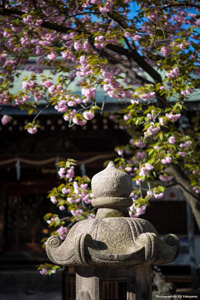 七社神社。毎度お約束の、灯籠に桜!