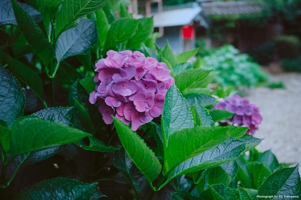 青山善光寺、紫陽花 / Kodak Ektar 100